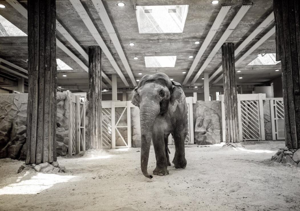 В зоопарке Харькова умерла 23-летняя слониха Тенди