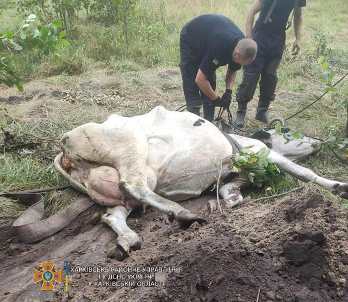 В Харьковской области спасатели помогли вытащить корову из ямы