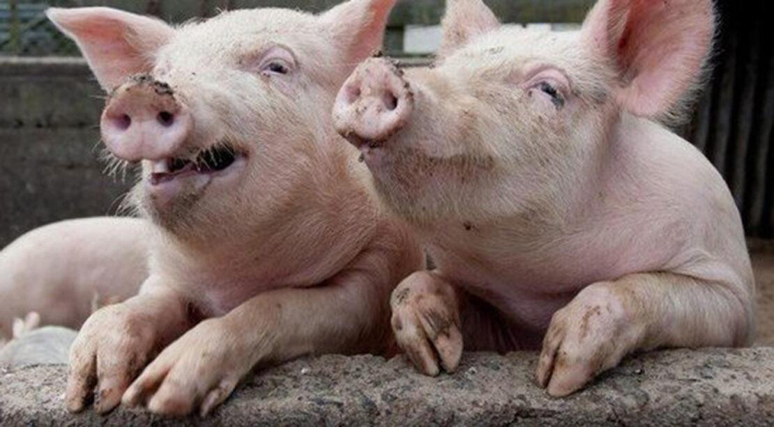 Новости Харькова: Эпидемию африканской чумы свиней предотвратили
