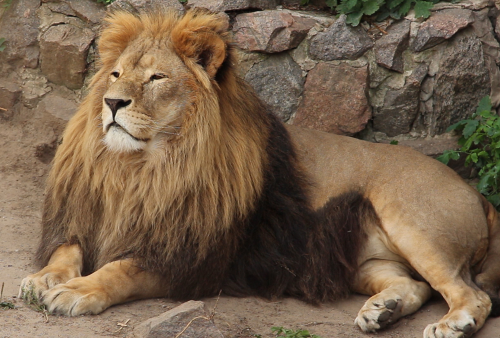 Лев Ричард из Харьковского зоопарка отметил юбилей