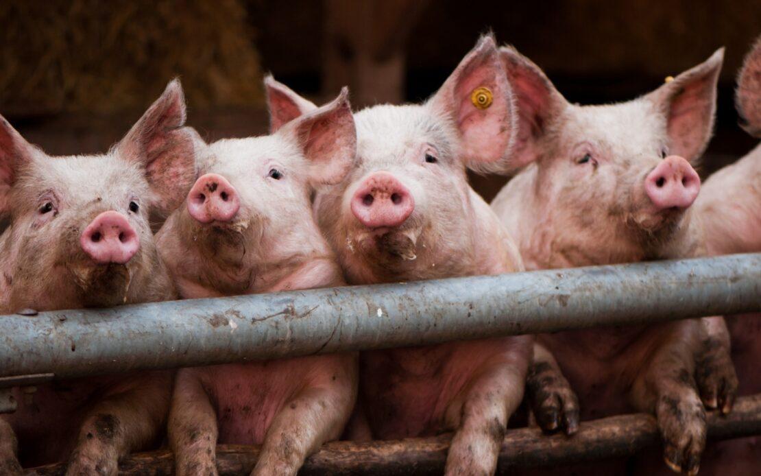 Африканская чума свиней в парке «Слобожанский» на Харьковщине