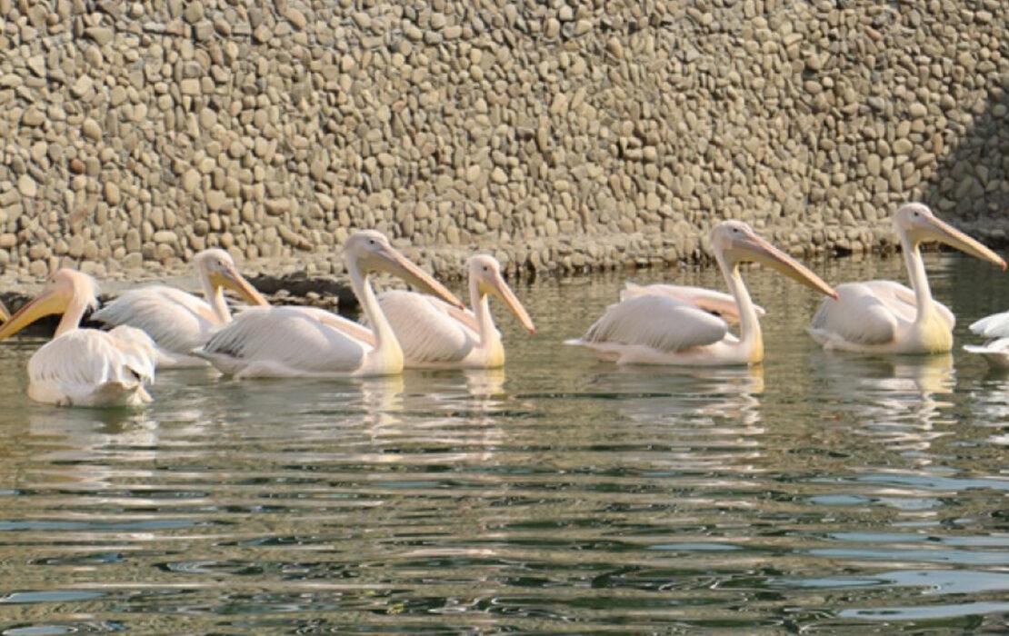 Новости Харькова: Пеликаны и бакланы вышли из вольера на воду